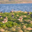 Evening view of wild geese. — Stock Photo #57530027