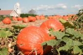 Field Pumpkins — Stock Photo