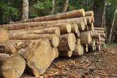 Woodpile From Sawn Pine And  Spruce Logs For Forestry Industry — Stock Photo
