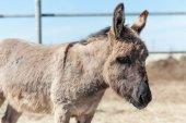 Gray donkey — Stock Photo