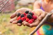 Ripe raspberry in the hands of — Stock Photo