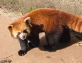 Amazing orange panda — Stock Photo