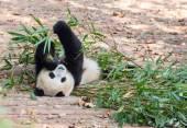 Visiting the park pandas — Stock Photo