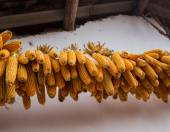 Corn in a cottage — Stock Photo