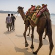 Indian cameleer - camel driver with camels — Stock Photo #77252878