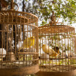 Yellow birds in cages — Stock Photo #77497376