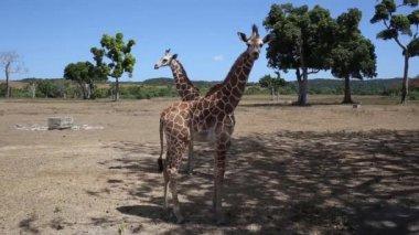 Group of Rothschilds giraffes — Stock Video