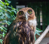 Photograph of a white faced scops owl perched — Stock Photo