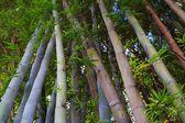 Bambú asiático — Foto de Stock