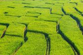 Rolling green hills and rice field — Foto de Stock