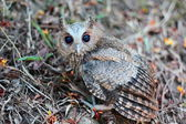 Side view of a owlet — Stock Photo