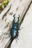 Stag beetle — Stock Photo