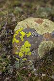 Lichen — Stock Photo