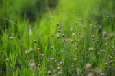 Flowering grass — Stock Photo