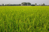 Rice crop nearly ready for harvest — Stock Photo