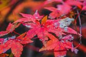 Maple Leaf Canopy of Reds and Yellows — Stock Photo