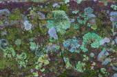 Лишайников, покрыты камень — Стоковое фото