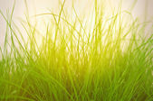 Green grass on the meadow. — Stock Photo