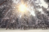 Cold winter forest. — Stock Photo