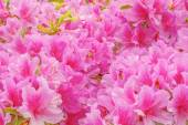 Many flowers of Rhododendron. — Stock Photo