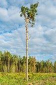 Tall old pine tree. — Stock Photo