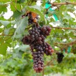 White grapes hanging from lush green vine with blurred vineyard — Stock Photo #55210127