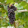 Grapes hanging from lush green vine with blurred vineyard backgr — Stock Photo #55210887