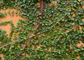Green creeper on cement wall — Stock Photo