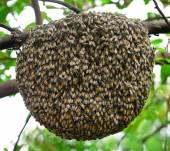 Big swarm bee on tree — Stock Photo