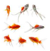 Set of gold fish Isolation on the white background — Stock Photo