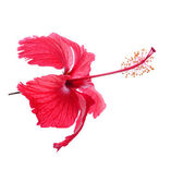 Chaba Flower isolated on white backgrount — Foto Stock