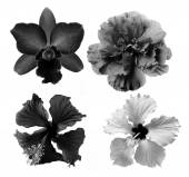 Black and white flower isolated on white background — Stock fotografie