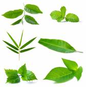 Green leaves on a white background — Stock Photo