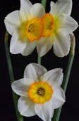 Daffodils — ストック写真