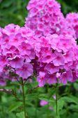 Phlox pink — Stock Photo
