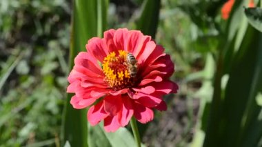 Zinnia  and a bee — Stock Video