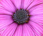 Abeja polinizada en flor morado oscuro cosmos — Foto de Stock
