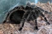 Macro tarantula spider on the ground — Stock Photo