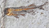 Close up fish fossil in stone — Stock Photo