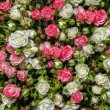 White-pink roses — Stock Photo #53944627