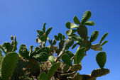 Prickly pear — Stock Photo