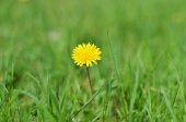 Dandelion on the grass — Stock Photo