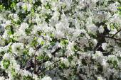 Beautiful blooming apple tree green branches in spring sunny day — Stock Photo