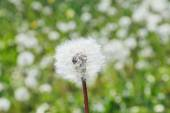Close-up of dandelion in green meadow with shallow depth of fiel — Stock Photo