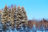 Forest with high trees in white snow and blue sky at sunny winte — Stock Photo