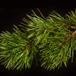Pine twig on a black background — Stock Photo #58517897