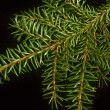 Spruce twig on a black background — Stock Photo #58517961