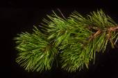 Pine twig on a black background — Stock Photo