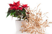 Poinsettia (euphorbia pulcherrima), knows also as Christmas star. — Stock Photo