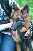 Portrait of a beautiful german shepherd or alsatian dog — Stock Photo